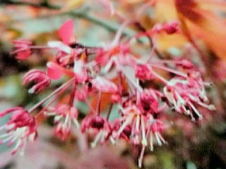 4月18日紅葉の花
