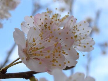 321桜1