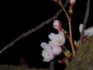 328桜1