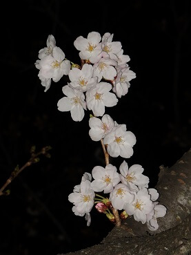404桜2