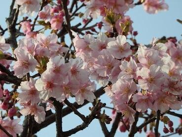 27川津桜