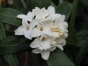 12沈丁花