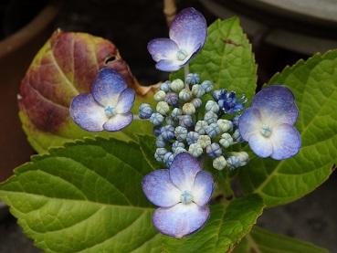 0624紫陽花