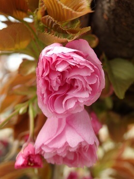 404八重桜
