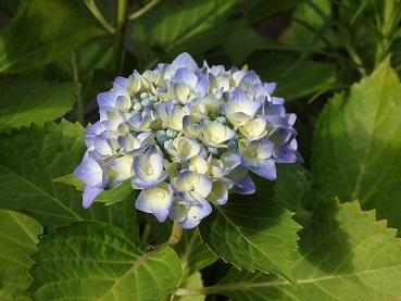 0613紫陽花